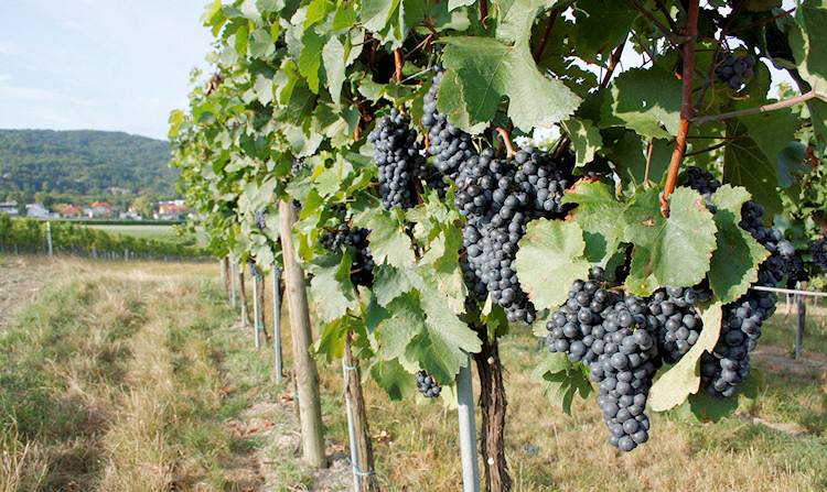 Weinviertel - grapes
