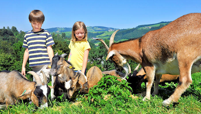Kids and goats in gentle hills